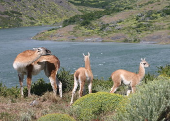 Family of guanacos in Patagonia